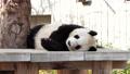 王子動物園の人気者 ジャイアントパンダ 旦旦 61459289
