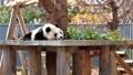 王子動物園の人気者 ジャイアントパンダ 旦旦 61459291