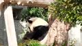 王子動物園の人気者 ジャイアントパンダ 旦旦 61459292