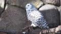 王子動物園のシロフクロウ 61459325