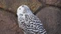 王子動物園のシロフクロウ 61459328