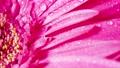 Gerbera flowers with water drops. Macro shooting 61606585