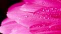Gerbera flowers with water drops. Macro shooting 61606587