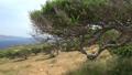 Old olive tree on rocky hill, Crete island. Greece 61710602