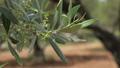 Olive tree grove, Crete island. Greece 61710611