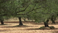 Olive tree grove, Crete island. Greece 61710613