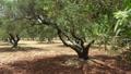 Olive tree grove, Crete island. Greece 61710615