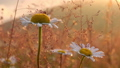 Close-up of chamomile during golden sunrise 61710619