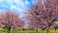 Sakura cherry trees in full blossom slow motion 3D 61768011