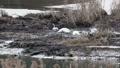 ハクチョウの食事-滝湖 福島県只見町 61823224