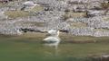 ハクチョウの食事-滝湖 福島県只見町 61823225