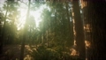Redwood Forest Foggy Sunset Scenery 61850102