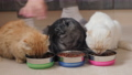 Three cats eat dry food from metal bowls 61868248