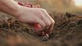 Planting seeding onions in organic vegetable garden 61868252