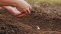 Planting white seeding onions in organic vegetable garden 61871118