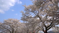 斐伊川堤防桜並木 桜のトンネル トラック 61881508