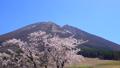 春の大山 桜と枡水原高原 フィクス 61881510