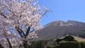 春の大山 桜と枡水原高原 フィクス 61881512