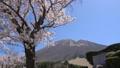 春の大山 桜と枡水原高原 フィクス 61881513