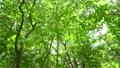 奥大山 ブナ林 木谷沢渓流 6月 パン 61881514