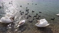 Beautiful swans on the lake 62010800