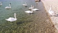 Beautiful swans on the lake 62010804