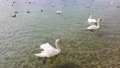 Beautiful swans on the lake 62010808