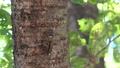 アブラゼミ 鳴声入り フィクス 62011663