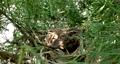 Wild bird Bird's nest Bunting (female) Cheek white Emberiza cioides 62100885