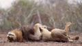 African lion in Kruger National park, South Africa 62202488