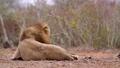 African lion in Kruger National park, South Africa 62202489