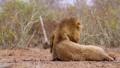 African lion in Kruger National park, South Africa 62202490