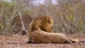 African lion in Kruger National park, South Africa 62202491