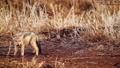 Black backed jackal in Kruger National park, South Africa 62236774