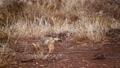 Black backed jackal in Kruger National park, South Africa 62236776