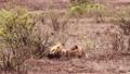African lion in Kruger National park, South Africa 62236777