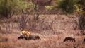 African lion in Kruger National park, South Africa 62236778