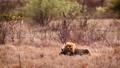 African lion in Kruger National park, South Africa 62236779