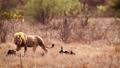 African lion in Kruger National park, South Africa 62236780