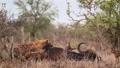 Spotted hyaena in Kruger National park, South Africa 62236781