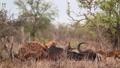 Spotted hyaena in Kruger National park, South Africa 62236782