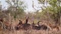 Spotted hyaena in Kruger National park, South Africa 62236783