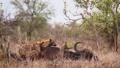 Spotted hyaena in Kruger National park, South Africa 62236784