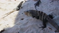 people feed wild iguanas with their hands 62456593