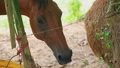 clouse up of a brown horse eats hay from a mesh bag 62456595