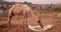 Camel eating at Pushkar surroundings during mela camel fair festival in field. Pushkar, Rajasthan, India 62467372