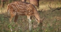 Beautiful female chital or spotted deer grazing in Ranthambore National Park, Rajasthan, India 62467710