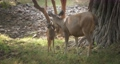 Beautiful mother sambar deer or Rusa unicolor washing baby deer in the forest of Ranthambore National Park, Rajasthan, India. 62467729