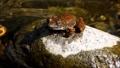渓流の石の上で鳴嚢を膨らませて鳴くカジカガエル 62484724