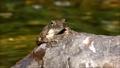 渓流の石の上で鳴嚢を膨らませて鳴くカジカガエル 62484725